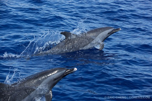 Pantropical dolphins, Ogasawara Islands, Japan