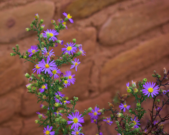 Tansy Aster next to ruin wall, Mesa Verde National Park, Colorado, September 14, 2009