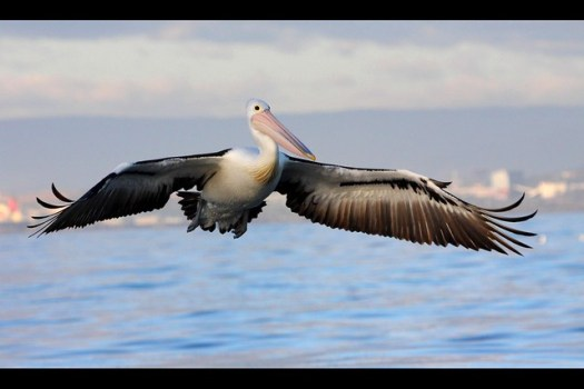 Australian Pelican, August Wollongong Pelagic, 23.8.09a