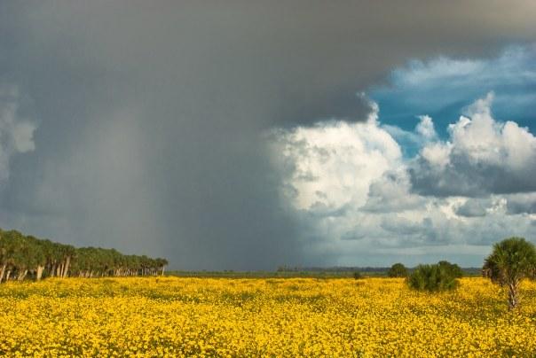 Lakes Jesup Wildflowers and Rainstorm