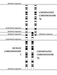 Chromosome Fusion