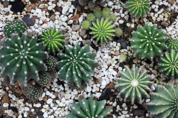 Pink Easter Lily Cactus / Echinopsis eyriesii / 短毛丸(タンゲマル)