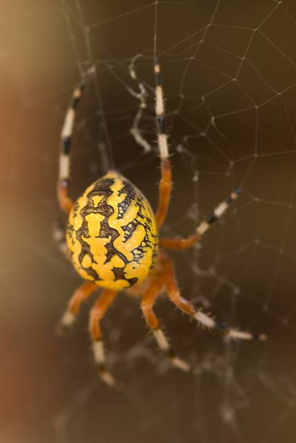 Yellow Marbled Orb Weaver  Flickr  Photo Sharing