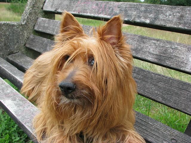 australian-terrier-76296_1920