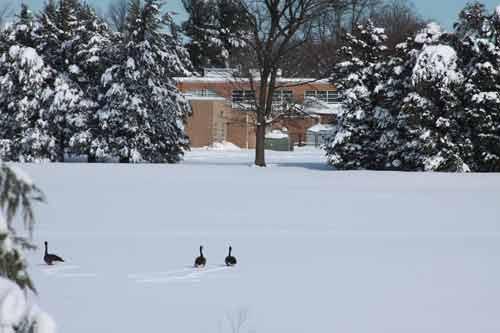 Geese in the snow. Vienna, VA.