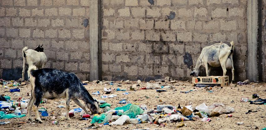 Ziegen im Abfall