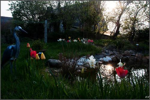 Le bassin, tulipe et narcisse