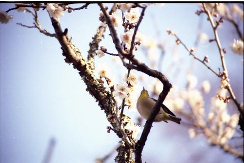 梅とうぐいす Plum & Japanese Bush-warbler