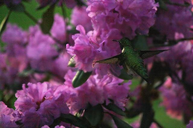 hummingbird edit