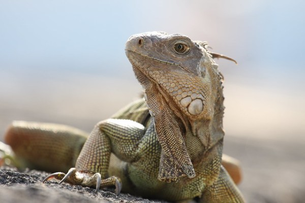 Iguana Puerto Rico Flickr Photo Sharing!