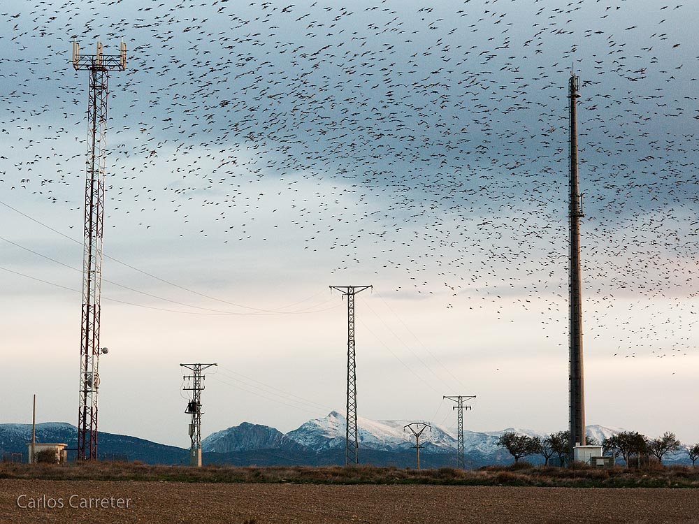 Nube de estorninos (Cloud of European Starlings)