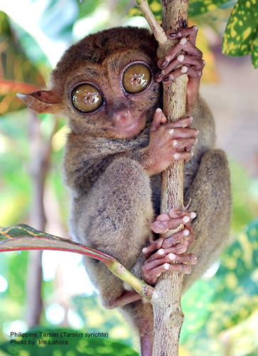 Philippine Tarsier  The Philippine Tarsier is a tiny