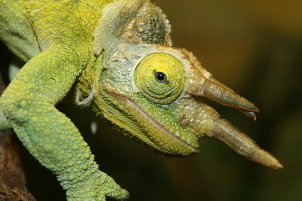 Chameleon,Taronga Zoo
