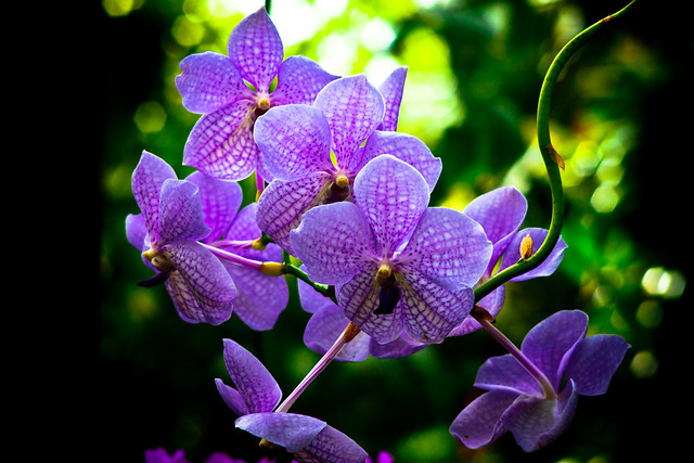 Blue Orchid definitionmeaning