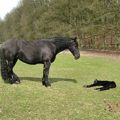 veulen / foal