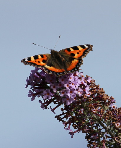Small Tortoiseshell (Aglais urticae) on a flower.