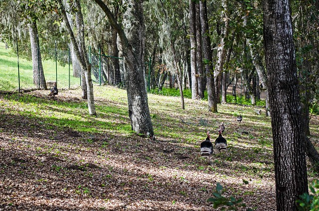 Wild turkeys are a common sight on the Inn Trail.