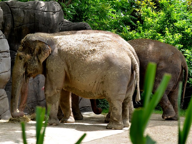Asian Elephant in the Bushes