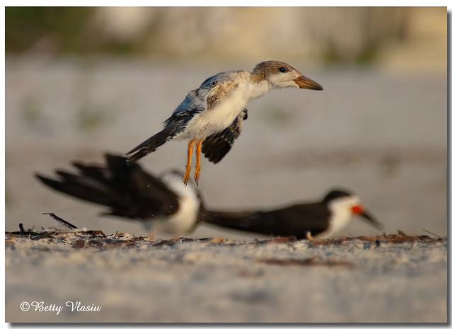 Black Skimmer Chick - First Flight