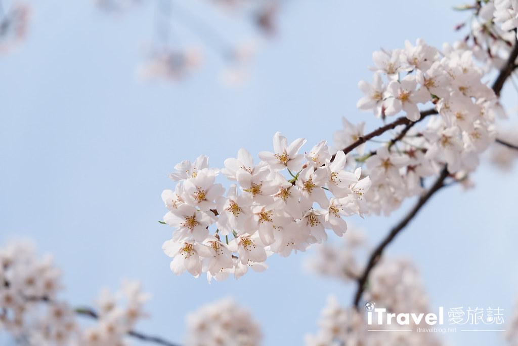 首尔赏樱景点 乐天塔石村湖 (44)