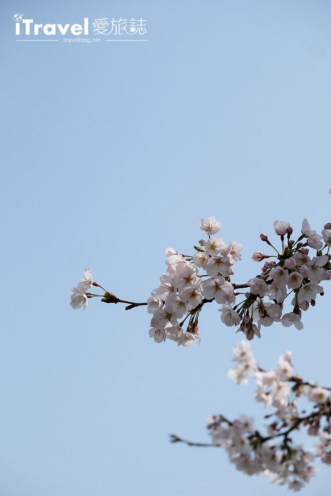 首尔赏樱景点 乐天塔石村湖 (8)