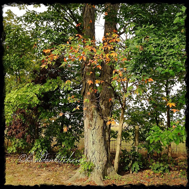 Sep 15 - season {the first colors of fall!} #fmsphotoaday #trees #fall #autumn #color #weather