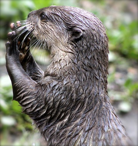 a very wet Asian Otter, close-up, in profile. Its paw are up in front of its face as if to make a 'stop' signal.