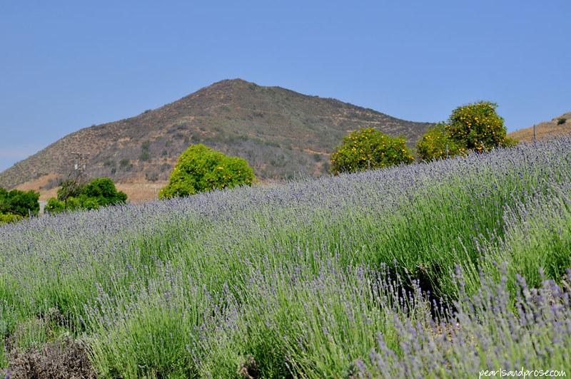 lavender_hillside_web
