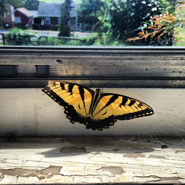 Captive swallowtail. #butterfly