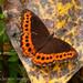 Oxeochistus puerta (Nymphalidae)
