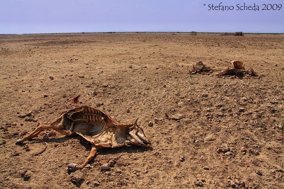 Dead cattle - Danakil, Ethiopia