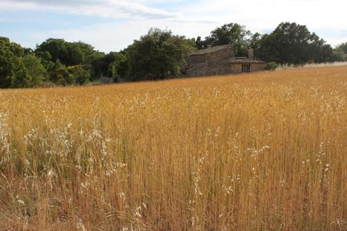 IMG_5872-Apt-cornfield