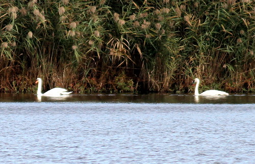 Mute Swan and a Trumpeter Swan