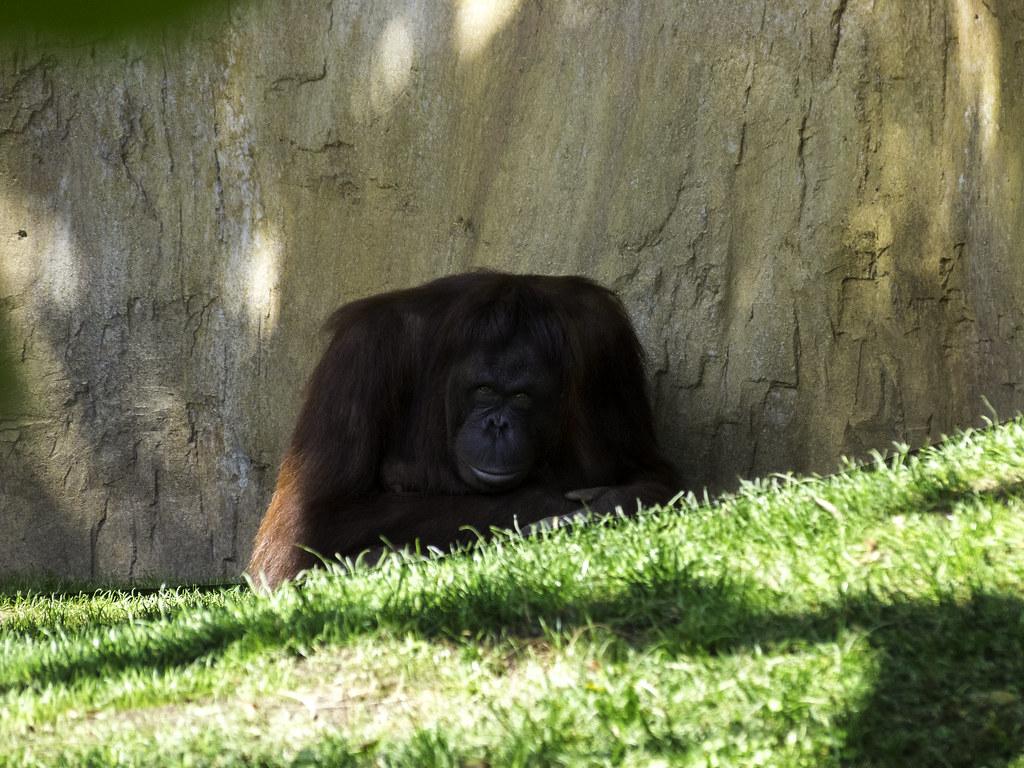 clyde monkey