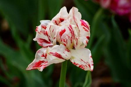 Just tulip...