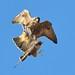 Juvenile Peregrine Falcons