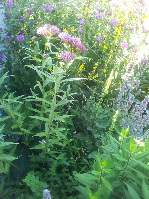 Pink Bee Balm, Swamp Milkweed and Verbascum
