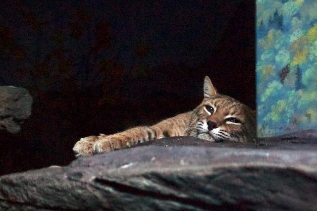 Lazy Bobcat