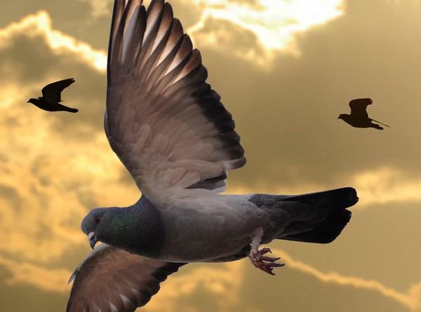 pigeon evangelism