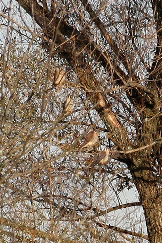 And Four Kestrels in a Bare Tree...