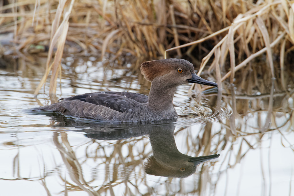 A hooded merganser swims in the shallows of Long Lake