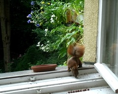 Eichhörnchen 1.3