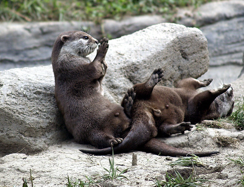 Small Clawed Asiatic Otters - two otters are on a rock. One appears to be seated, leaning on a rock behind, and is holding up its paws as if clapping. The other is lying on its back with its hind end draped over the lap of the seated otter. It also has raised paws as if caught in the midst of applause.