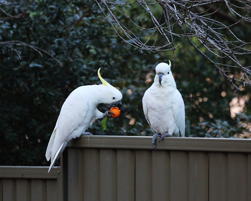 Sulphur_crested_Cockatoo_1C0A5614