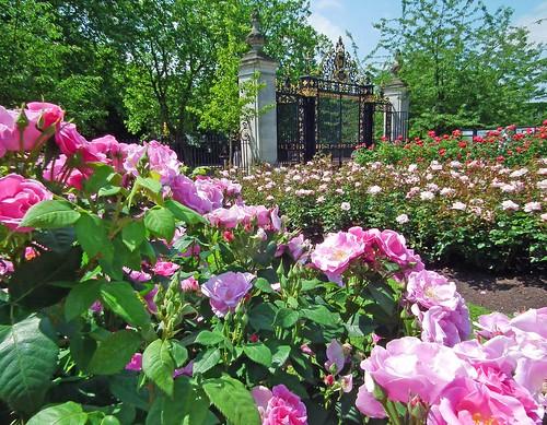 Regent's Park Roses