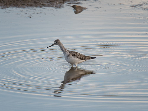 Greenshank-Summer passage