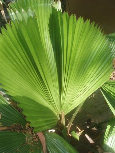 201402010050-palmate-leaves