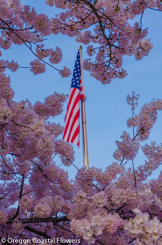 flowering cherry branches