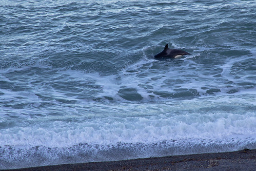 Orca en Península Valdés