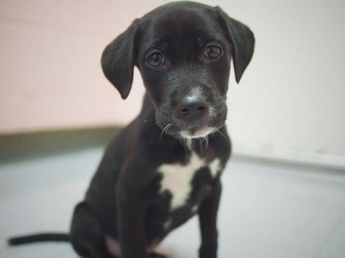 p8 lab mix puppies